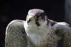 Perigrine falcon Stock Photo