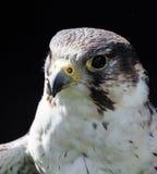 Perigrine falcon Stock Image