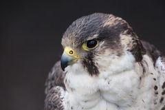 Perigrine falcon Royalty Free Stock Image