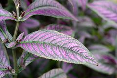 Perilepta bonito com folhas violetas Fotografia de Stock Royalty Free