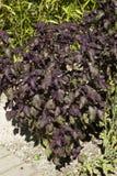Perilla frutescens. In my garden this Summer,close up Stock Photos