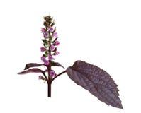Perilla frutescens mint. Perilla frutescens flower isolated on white background Stock Photos