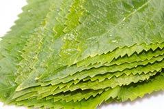 Perilla Leaf Royalty Free Stock Photography