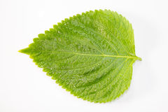 Perilla Leaf Royalty Free Stock Photos