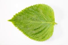 Perilla Leaf Royalty Free Stock Photos