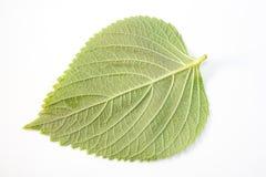 Perilla Leaf Stock Image