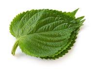 Perilla leaves, egoma Stock Photography