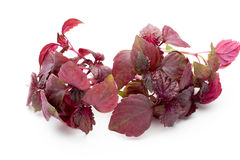 Perilla (Shiso) Leaf on white background. Perilla (Shiso) Leaf on white background Royalty Free Stock Photography