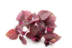 Perilla (Shiso) Leaf on white background. Perilla (Shiso) Leaf on white background Stock Photo
