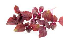 Perilla (Shiso) Leaf on white background. Perilla (Shiso) Leaf on white background Royalty Free Stock Photo