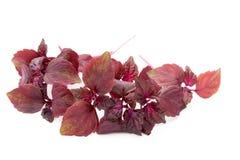 Perilla Shiso Leaf on white background. Perilla Shiso Leaf on white background Stock Photos