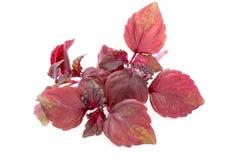 Perilla (Shiso) Leaf on white background.  Royalty Free Stock Images