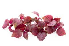 Perilla (Shiso) Leaf on white background.  Royalty Free Stock Photo