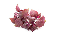 Perilla (Shiso) Leaf on white background. Perilla (Shiso) Leaf on white background Stock Images