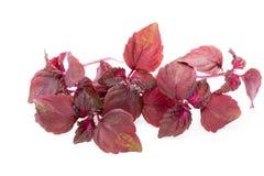 Perilla (Shiso) Leaf on white background.  Stock Photo