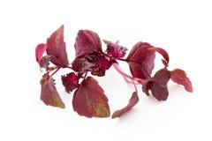 Perilla. (Shiso) Leaf on white background Royalty Free Stock Images