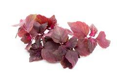 Perilla (Shiso) Leaf on white background. Perilla (Shiso) Leaf on white background Stock Photography