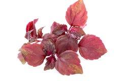 Perilla Shiso Leaf on white background. Perilla Shiso Leaf on white background Royalty Free Stock Photography