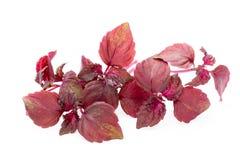 Perilla Shiso Leaf on white background. Perilla Shiso Leaf on white background Stock Photography