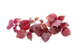 Perilla Shiso Leaf on white background. Perilla Shiso Leaf on white background Royalty Free Stock Photo