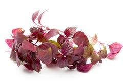 Perilla Shiso Leaf on white background. Perilla Shiso Leaf on white background Stock Images