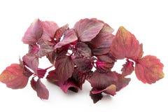 Perilla Shiso Leaf on white background. Perilla Shiso Leaf on white background Stock Photo
