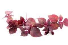 Perilla Shiso Leaf on white background.  Royalty Free Stock Photo