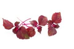 Perilla Shiso Leaf on white background. Perilla Shiso Leaf on white background Royalty Free Stock Image
