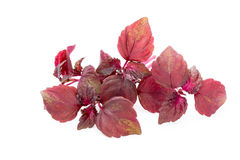 Perilla Shiso Leaf on white background.  Stock Photo