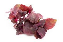Perilla Shiso Leaf on white background. Perilla Shiso Leaf on white background Royalty Free Stock Photos