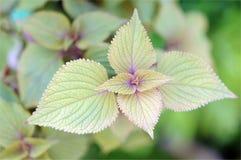 Perilla trees Royalty Free Stock Image
