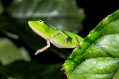 Perinet chameleon, andasibe Royalty Free Stock Photos