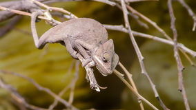 Perinet chameleon, Calumma gastrotaenia is a species of Stock Image
