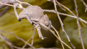 Perinet chameleon, Calumma gastrotaenia is a species of Royalty Free Stock Image
