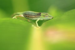 Perinet chameleon Stock Photography
