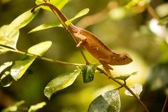 Perinet kameleon, Calumma gastrotaenia w naturze w Madagascar, Obrazy Stock