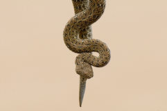 Peringuey's adder or sidewinder Stock Images