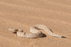 Peringuey's sand Adder. The sand adder is a small member of the puff adder family. It lives exclusively in the Namibian sanddunes, sidewinding over the hot sand Royalty Free Stock Images