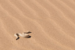 Peringuey's sand Adder. The sand adder is a small member of the puff adder family. It lives exclusively in the Namibian sanddunes, sidewinding over the hot sand Royalty Free Stock Photo