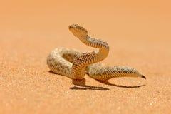 Peringueyi do Bitis, o adicionador de Péringuey, serpente do veneno do deserto da areia de Namíbia Víbora pequena no habitat da  fotografia de stock