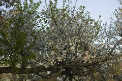 Cherry blossoms. White flowers of fruit tree. royalty free stock images