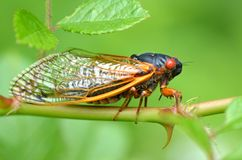 Periodical Cicada. A periodical cicada of genus Magicauda. Cicadas like this emerge from underground every 13 or 17 years to breed depending on species Stock Photos