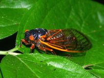 Periodical Cicada (Magicicada septendecim). A 17-year Periodical Cicada (Magicicada septendecim) at Rock Cut State Park in northern Illinois Stock Photography