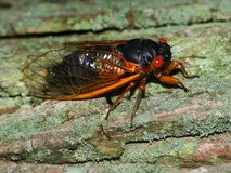 Periodical Cicada (Magicicada septendecim). A 17-year Periodical Cicada (Magicicada septendecim) at Rock Cut State Park in northern Illinois Royalty Free Stock Photo