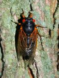 Periodical Cicada (Magicicada septendecim). A 17-year Periodical Cicada (Magicicada septendecim) at Rock Cut State Park in northern Illinois Stock Photos