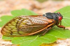 Periodical Cicada (magicicada species) Royalty Free Stock Image