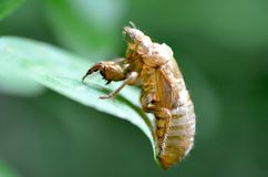 Periodical Cicada Skin. An empty cicada shell left on a leaf at the insect's last emergence. This one is from the 2013 appearance of the 17-year Magicicada brood Stock Image