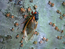 Periodical Cicada. After 17 years it finally emerged from its larval stage Royalty Free Stock Photo