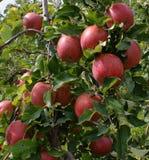 Periodo del raccolto della mela Immagini Stock