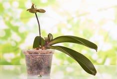 Periodo della vegetazione di phalaenopsis, aspetto di nuovi tiri, su verde chiaro Fotografia Stock